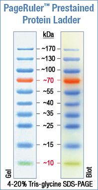 Pageruler Prestained Protein Ladder Abo Odczynniki I